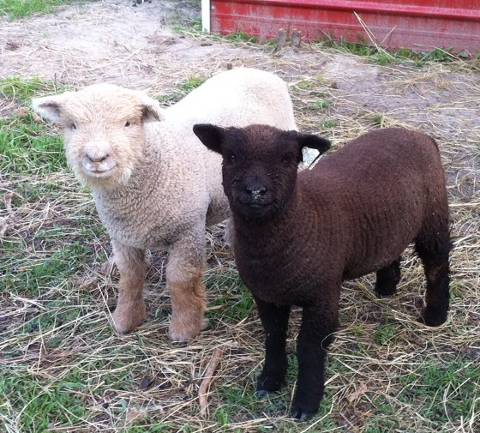 photo of Babydoll Southdown lambs for sale