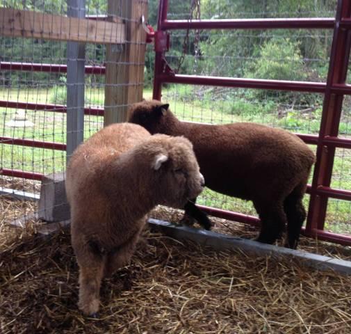 October Lambs Photo