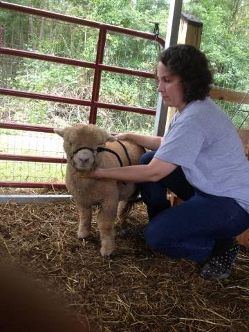 Off-White Babydoll Southdown Ram, Born 3/2013